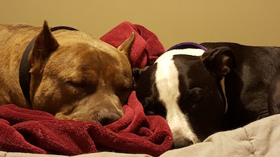 Sleeping Pitbulls