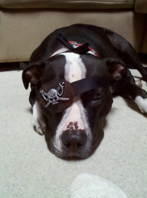 A pit bull wearing a pirate eye patch