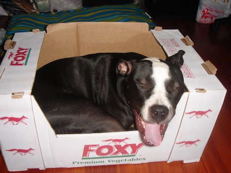 Leela Dyna Dog Loves Cardboard Boxes - Love Your Pet Day